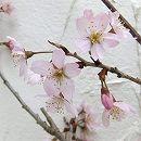[淡紅色・3月中下旬咲き・切花に人気の桜]桜:啓翁(ケイオウ)桜接木苗4号ポット