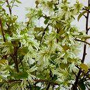 トキワマンサク:白花青葉 樹高1.5m根巻き