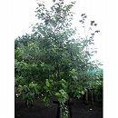 ギンドロ 7号ポット樹高1.2m(ポプルスアルバ)
