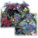 ビバーナム:ティヌス 樹高80cm根巻き
