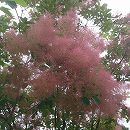 スモークツリー:フレーム樹高1m根巻きまたはポット