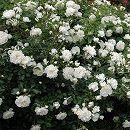 [17年5月中旬予約]シュラブローズ:ホワイトメイディランド新苗