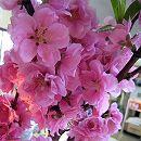 [3月の桃の節句の頃開花する八重咲き人気品種]花桃:矢口桃(ヤグチモモ)ピンク花4〜5号ポット
