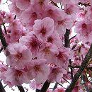 [きれいなピンクの一重大輪・4月中旬開花]桜:陽光(ヨウコウ)桜接木苗4〜5号ポット