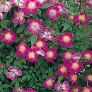 [17年5月中旬予約]つるバラ:ローラアシュレイ新苗