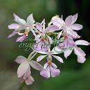 リュウキュウエビネ花色混合3.5号ポット