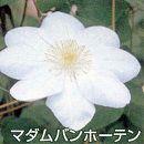 クレマチス:マダムバンホーテ3.5号ロングポット(ラヌギノーサ系)