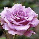四季咲中輪バラ:スィートムーン新苗