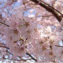 [彼岸の頃に咲く一重花]桜:江戸彼岸(エドヒガン)桜接木苗4〜5号ポット