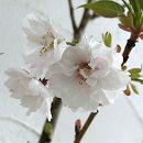 桜:八重紅大島(ヤエベニオオシマ)接木苗4〜5号ポット