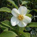 ナツツバキ(夏椿・シャラ):白花株立ち(寄せ株)樹高1.5m根巻き