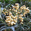 ナンテン(南天):白実 樹高90〜120cm根巻き