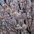 桜:小彼岸(コヒガン)桜接木苗4〜5号ポット