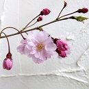 桜:平安枝垂れ(ヘイアンシダレ)接木苗4〜5号ポット
