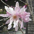 ヒメコブシ(シデコブシ):紅花ヒメコブシ樹高1.5m根巻き