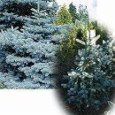 ピセアプンゲンス(プンゲンストウヒ):ホプシー樹高1.5m根巻き
