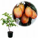 鉢植え果樹 柿(カキ):大西条(おおさいじょう)8号鉢植え