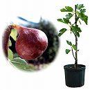 鉢植え果樹 イチジク:ショート・ブリッジ8号鉢植え