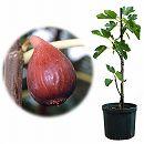 鉢植え果樹 イチジク:ドーフィン7〜8号鉢植え