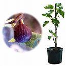 鉢植え果樹 イチジク:ネグロ・ラルゴ8号鉢植え
