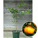 鉢植え果樹 清見(きよみ)8号鉢植え