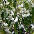 ハイノキ(灰の木) 樹高1.5m根巻き