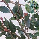 カメリア:エリナカスケード 樹高1m根巻きまたはポット入り