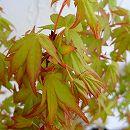 モミジ(カエデ):桂(カツラ)9号ポット樹高1.5m