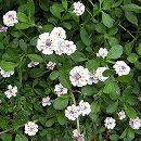マット植物:ヒメイワダレソウのマット25cm×25cm 6枚セット