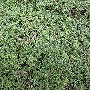 マット植物:タイム:ロンギカウリスのマット25cm×25cm 6枚セット