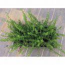 マット植物:ほふく性ローズマリーのマット25cm×25cm 6枚セット