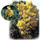 オウゴンガシワ(黄金柏)樹高1.5m根巻き