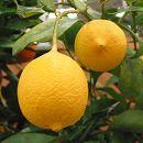 レモン:リスボンレモン4〜5号ポット