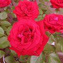 [17年5月中旬予約]つるバラ:ドンファン新苗