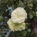 [17年5月中旬予約]ミニバラ:グリーンアイス新苗