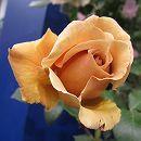 [17年5月中旬予約]つるバラ:ジュリア新苗