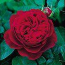 イングリッシュローズ:L.D.ブレスウェイト大苗5号角鉢植え
