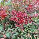 ナンテン(南天):赤実 樹高80〜100cm根巻きまたはルートバック
