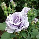 [17年5月中旬予約]四季咲中輪バラ:オンディーナ新苗
