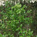 シャシャンボ(小小ん坊)株立ち樹高1.5m根巻き