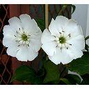 センノウ:白花マツモトセンノウ(白花松本仙翁)3号ポット