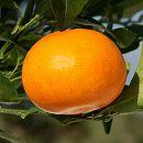[2月上〜下旬収穫 とろけるような甘さで人気の柑橘・かんきつ類苗木]せとか4〜5号ポット
