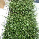 マット植物:ワイヤープランツのマット25cm×25cm 6枚セット
