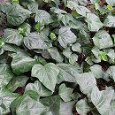 ヘデラ カナリエンシス(オカメヅタ):緑葉3.5号24株セット