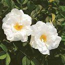 [17年5月中旬予約]ハマナス:白花八重(ブラン ドゥ ブル ドゥ クーベル)新苗