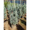 コロラドビャクシン(ジュニペルス):ウィチダブルー樹高0.8m根巻き