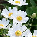シュウメイギク(秋明菊):白花八重3〜3.5号ポット2株セット