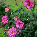 シュウメイギク(秋明菊):赤花(濃桃花)八重3〜3.5号ポット2株セット