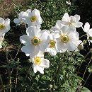 シュウメイギク(秋明菊):白花一重3〜3.5号ポット2株セット