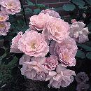 [17年5月中旬予約]四季咲中輪バラ:涼(りょう)新苗